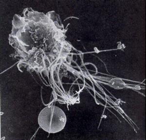 Makrophage-300x289